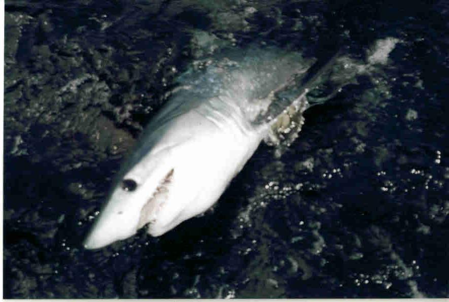 NJ Off Shore Sharking Charter